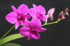 Орхидеята Дендробиум нобиле - не само красива, но и полезна за здравето