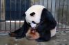 Панда роди близнаци в база в Северозападен Китай