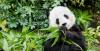 Голямата панда е високо ценена в Китай като символ на мира