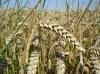 Богата реколта от зърнени храни