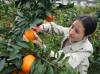 Новата реколта портокали в Дзянси